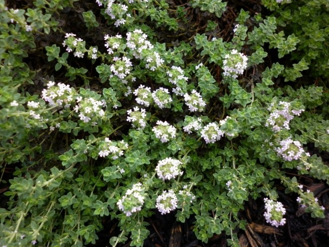 Culinary thyme in bloom