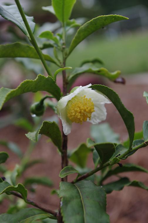 camellia blooms