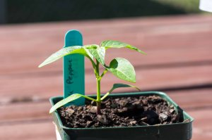 Fish Pepper seedling
